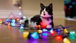 Our new cat/almost-still-a-kitten, Oliver, adopted from the Ottawa Humane Society early in the Summer, helps out with decorations. (Glen/CTV Viewer)