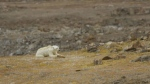 Biologist challenges starving polar bear footage