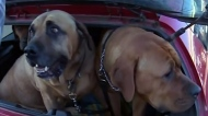 Dog donates blood to save other canine lives