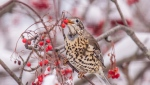 A European mistle thrush spotted in MIramichi, N.B. is shown in a handout photo by Peter Gadd. (THE CANADIAN PRESS/HO-Peter Gadd MANDATORY CREDIT)