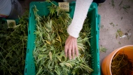 Dried cannabis plants are sorted at a plant in south-west Quebec on Tuesday, Oct. 8, 2013. (THE CANADIAN PRESS/Justin Tang)