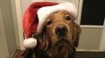 Brodie sporting he's best bah humbug look! (Katie St-Jean/CTV Viewer)