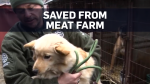 Dogs saved from Korean meat farm arrive in Ontario