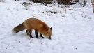 Trying to hunt for food buried in snow. Photo by Len Berard.
