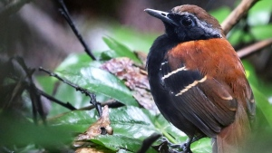 An example of the antbird species Myrmoderus eowilsoni, named after a retired Harvard biologist known as 'the father of biodiversity.' (source: Rainsforest Trust  / Andrew Spencer)