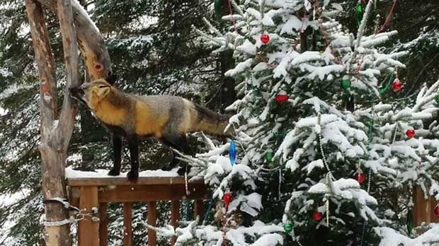 Our morning visitor eating from the bird feeder. Photo by Susan Babynchuk.