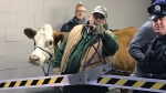 Stormy, the cow, is led out of a parking garage Thursday, Dec. 14, 2017, after its second escape from a Philadelphia church's live nativity scene. (Katherine Scott/6 ABC via AP)