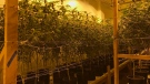 In this Wednesday, Dec. 13, 2017 photo released by the San Bernardino Police Department, is a shut down marijuana operation of some 35,000 plants they believe was bringing in millions of dollars a month in San Bernardino, Calif. (San Bernardino Police Department via AP)