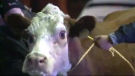 Stubborn cow doesn't want to be in nativity scene