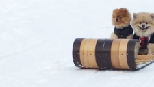 Downward dogs: Pomeranians tobogganing in B.C.