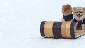 Downward dogs: Pomeranians tobogganing in B.C.