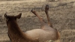 Lethbridge - elk caught in barbed wire