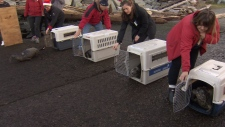 Rescued seal pups released at Porteau Cove