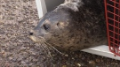 Many of the orphaned seals arrived at the aquarium's rescue centre emaciated and dehydrated.
