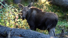 One of two orphaned moose calves that were rescued from near Prince George, B.C., in May and have been rehabilitated at the Northern Lights Wildlife Society in Smithers, B.C. is shown in a handout photo. (THE CANADIAN PRESS / Northern Lights Wildlife Society)
