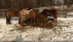 Horses are seen at a farm on Century Drive near Mt Brydges where a horse was shot by a stray bullet.