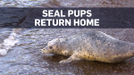 A group of young seals were returned to their natural habitat in B.C.