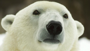 A polar bear seen at a Philadelphia Zoo. (Philadelphia Zoo via AP)