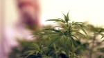 Marijuana plants are seen in a flowering room at Compassionate Cultivation, Thursday, Dec. 14, 2017, in Manchaca, Texas. (AP Photo/Eric Gay)