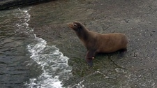 Rehabbed sea lion released back into wild in Sooke