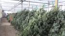 Canada wide Christmas tree shortage