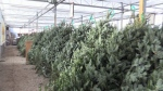 Canada wide Christmas tree shortage