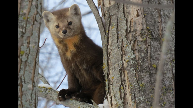 A visit from a marten. Photo by Brian Lesko.