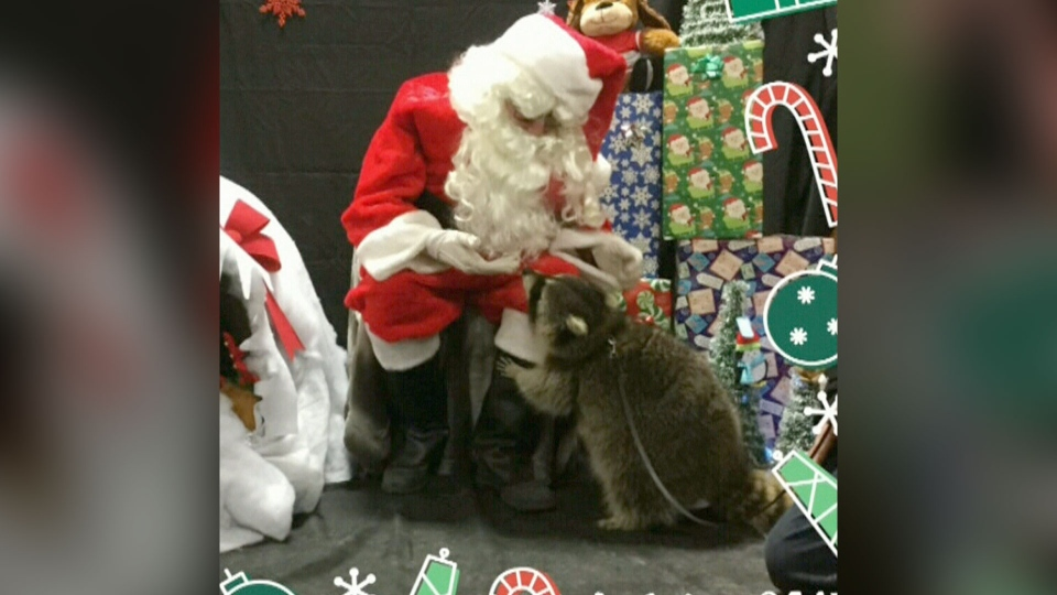 Rambo the raccoon poses with Santa Claus in a 2017 holiday photo.