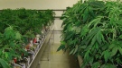 Greenhouse used for tomatoes and other vegetables from Bertrand Inc., now being used to grow marijuana (CTV Montreal).