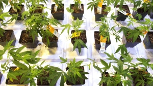 Cannabis seedlings at the new Aurora Cannabis facilty in Montreal on Friday, Nov. 24, 2017. (THE CANADIAN PRESS/Ryan Remiorz)