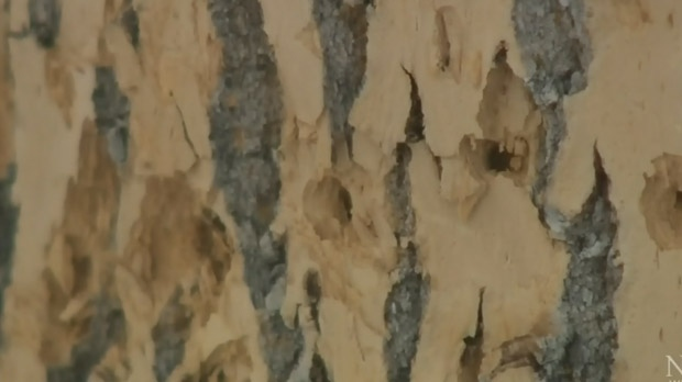 City, partners survey for emerald ash borer beetle, believe more