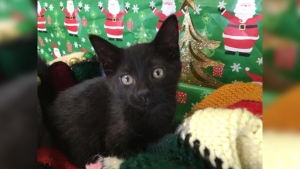 A three-month-old kitten named Candy Cane available for adoption. (SPCA St. John's)