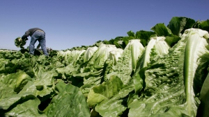 In this Aug. 16, 2007, file photo a worker harvests romaine lettuce in Salinas, Calif. (AP Photo/Paul Sakuma, File)