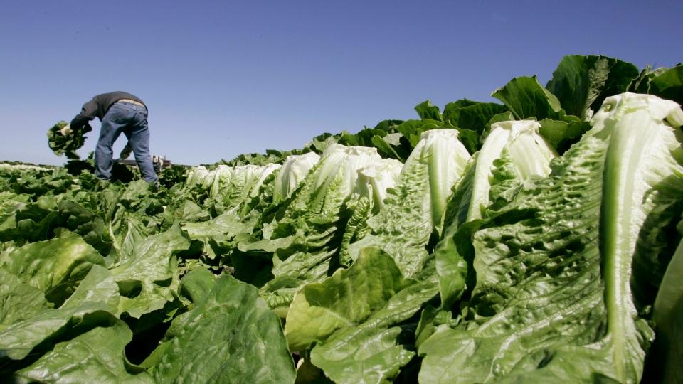 In this Aug. 16, 2007, file photo a worker harvests romaine lettuce in Salinas, Calif. (AP Photo/Paul Sakuma, File)