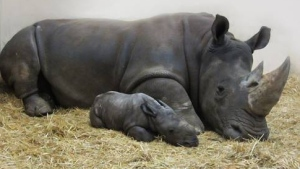 A white rhino calf was born at the Toronto Zoo on Christmas Eve. (Photo Credit: Toronto Zoo)