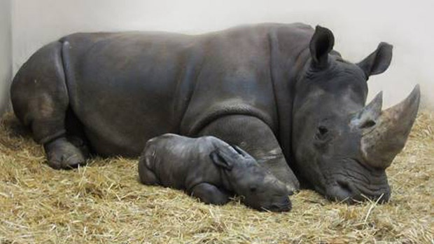 Toronto Zoo welcomes baby white rhino""