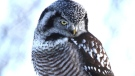 A Northern Hawk Owl in the cold. Photo by: Dennis Swayze