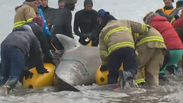 The Marine Animal Response Society along with the help of locals rescue a stranded pilot whale Jan.1, 2018.