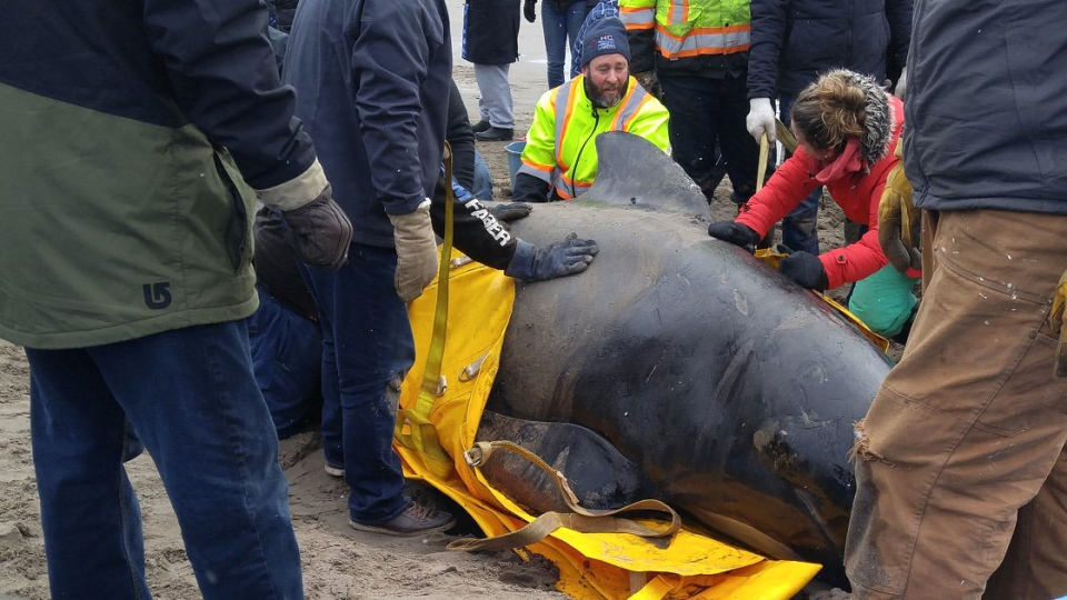 A pilot whale was rescued from a beach in Dartmouth, N.S. on Monday morning. (Nancy Briggs Carr/Facebook)
