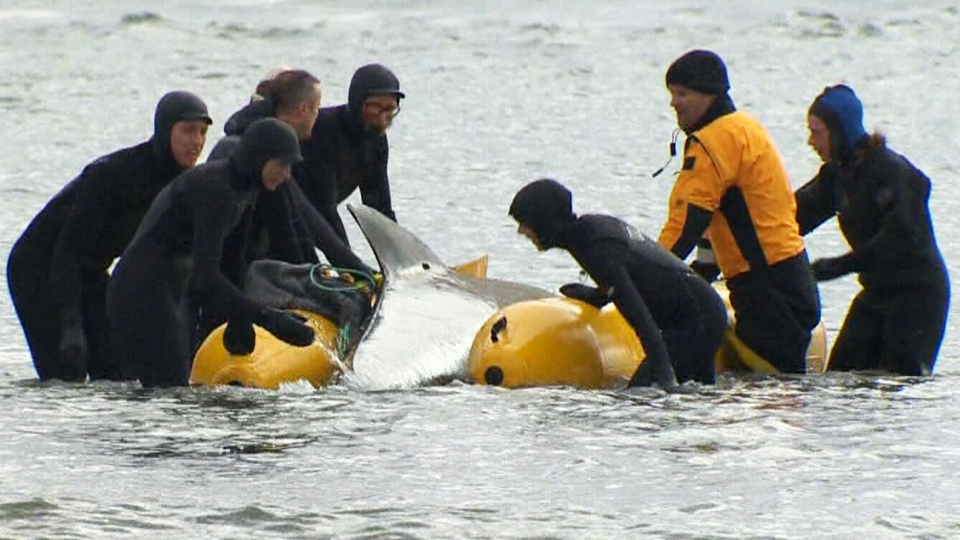 Rescuers used flotation pontoons to help bring the whale into the water.