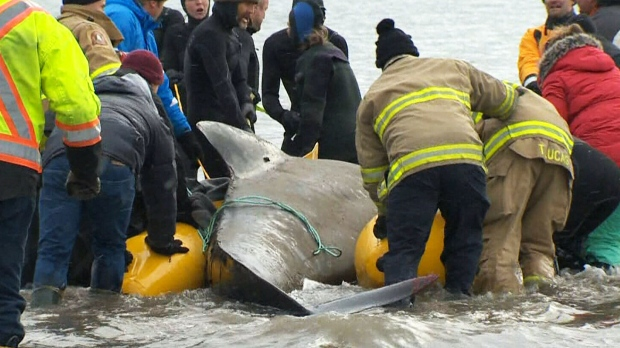 A response coordinator for the Marine Animal Response Society said it was unusual to find the pilot whale on its own.