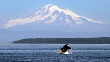 In this July 31, 2015, file photo, an orca whale breaches in view of Mount Baker, some 60 miles distant, in the Salish Sea in the San Juan Islands, Wash. (THE CANADIAN PRESS / AP / Elaine Thompson)