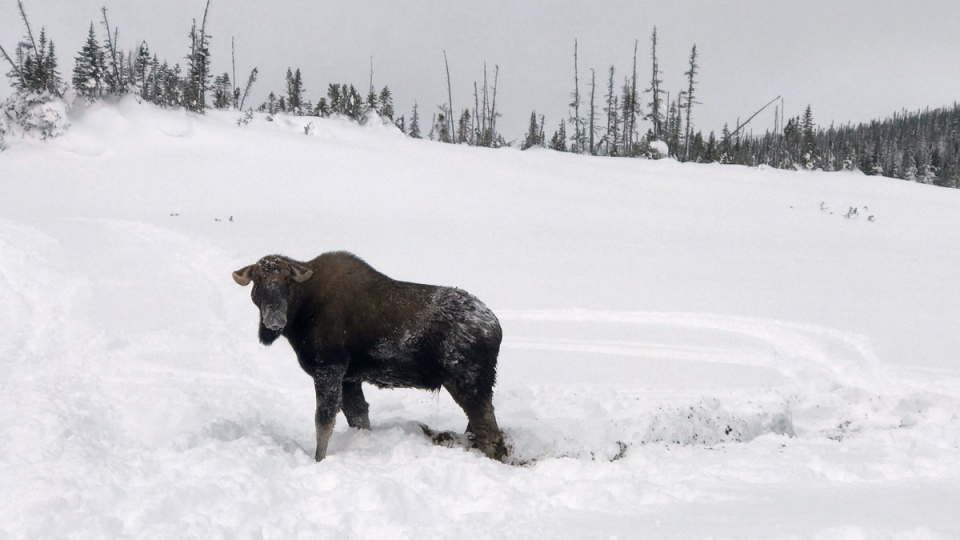 The rescued moose near Deer Lake, N.L.