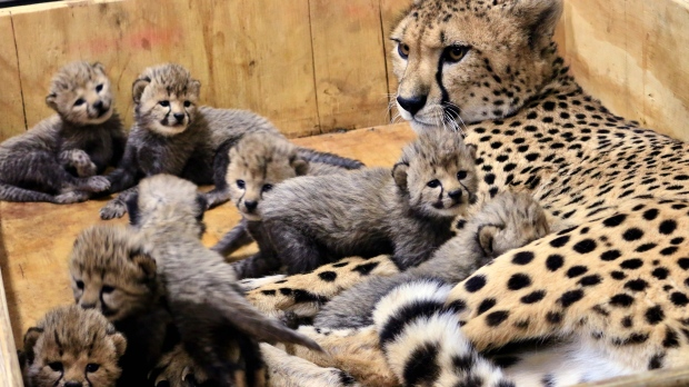 Bingwa with her 8 cheetah cubs at St. Louis Zoo