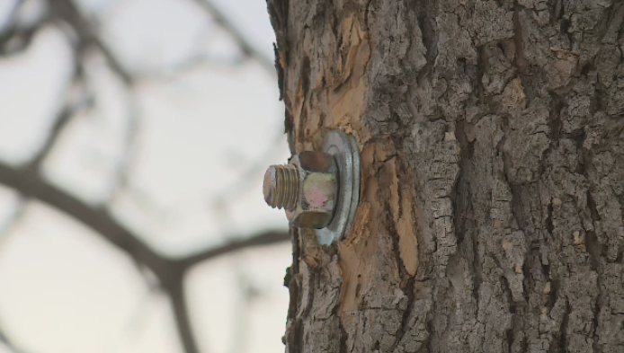 The City of Regina is trying to keep a number of trees from splitting, by installing bolts into the trees to pull them back together.