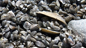 City preparing for zebra mussel invasion