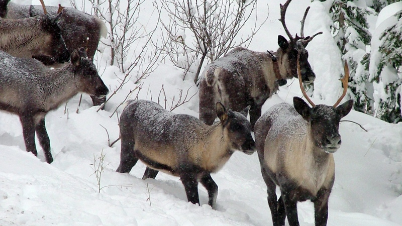 Southern Selkirk caribou