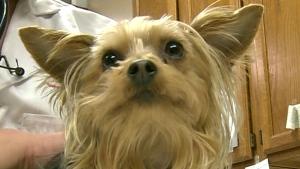 CTV Windsor: Canine influenza