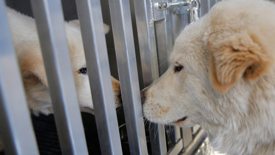 FILE -- Walter greets a fellow dog on board Pittsburgh Aviation Animal Rescue Team's Disaster Relief and Transport Trailer, after both were rescued from a South Korean dog meat farm by Humane Society International (HSI) on Sunday, March 26, 2017. (Andrew Kelly/AP Images for Humane Society International)