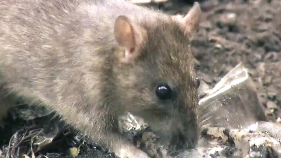 Vet suggests link between rats, leptospirosis
